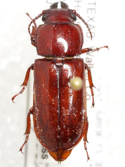 Neandra brunnea brunnea (Fabricius) - Neandra brunnea