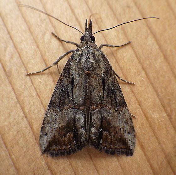 Erebidae: Hypena scabra - Hypena scabra