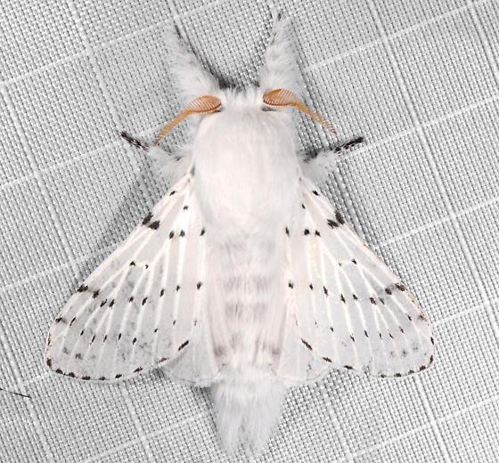 Artace - Artace cribrarius - male