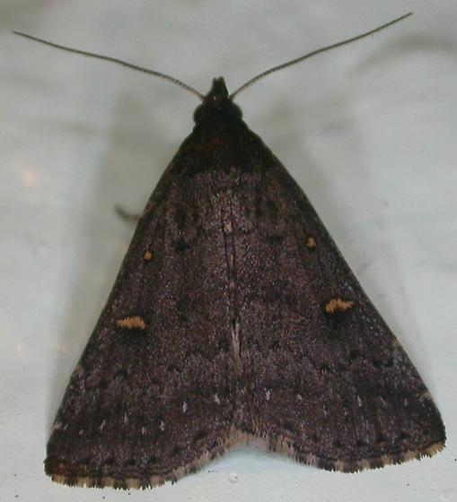 Tetanolita mynesalis - female