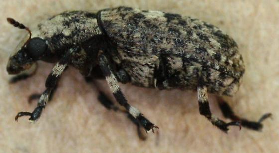Anthribidae > Euparius marmoreus  - Euparius marmoreus