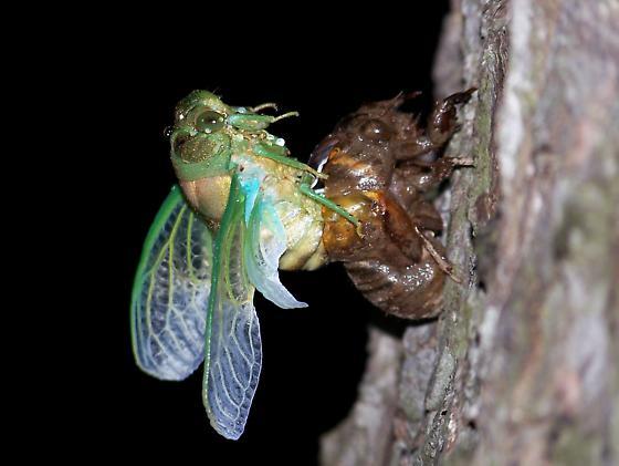 Cicada Emerging - Neotibicen tibicen - female