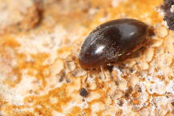 Beetle - Microscapha clavicornis