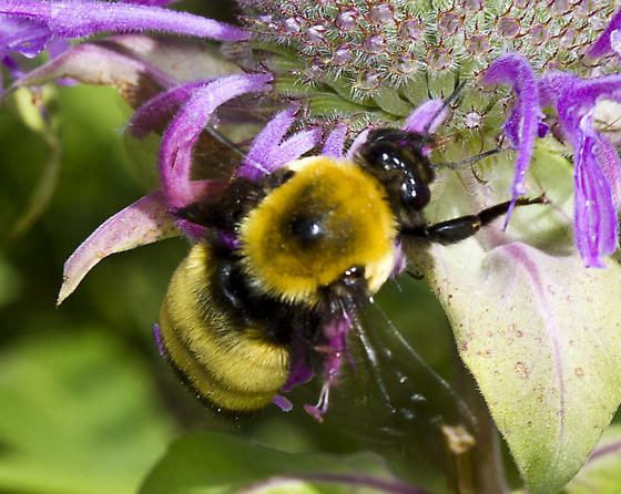 Bombus nectaring on Monarda fistulosa - Bombus nevadensis
