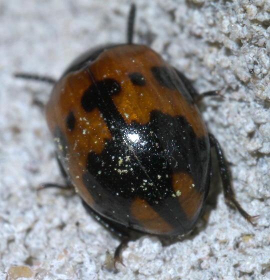 Shiny black and orange beetle - Diaperis nigronotata