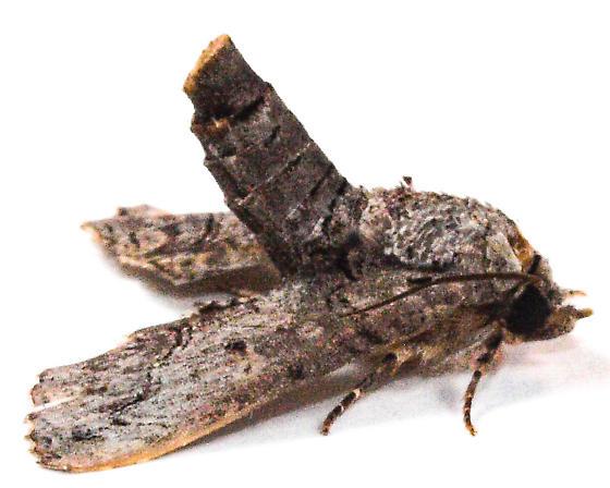 Moth to porch light  - Paectes abrostoloides - female