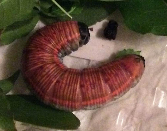 Orange Catterpillar with black head - Pachylia ficus