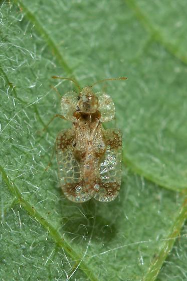 Lacebug on round-leafed dogwood - Corythucha
