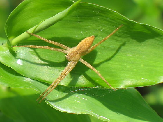 Spider 5 - Pisaurina mira