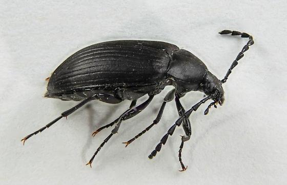 Pseudocistela... - Pseudocistela - female