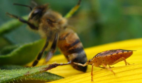 Is this Genus Podisus feeding on this bee? - Podisus