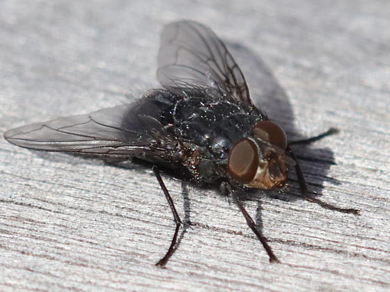 Out early this year - Calliphora vicina - male