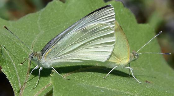 mating cabbage whites - Pieris rapae - male - female