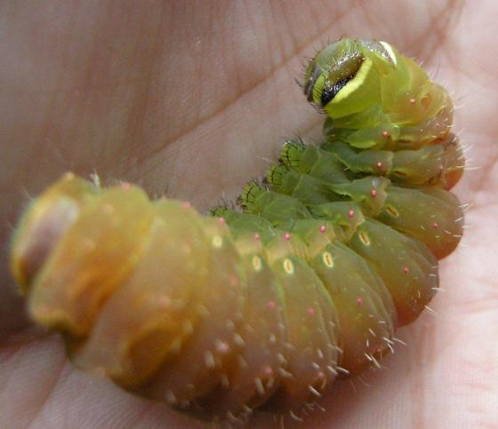 Luna Moth Larva - Actias luna
