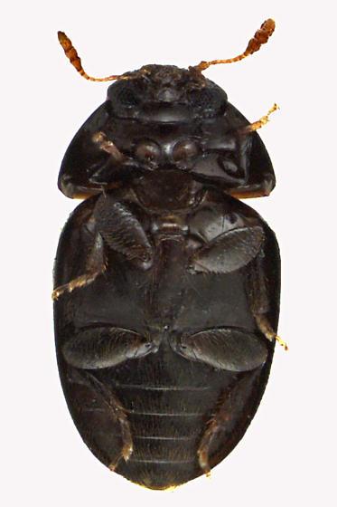 Shining Flower Beetle - Acylomus pugetanus
