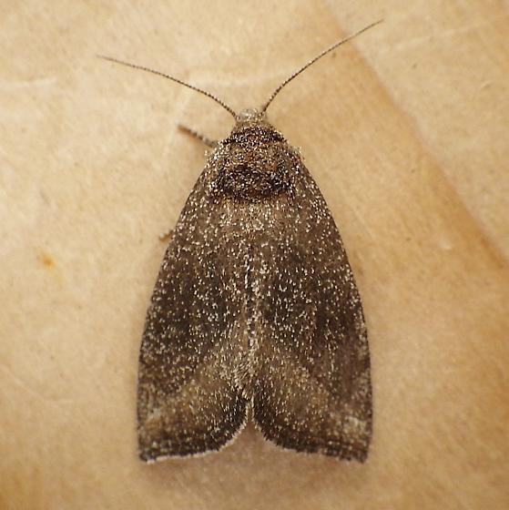 Noctuidae: Plagiomimicus heitzmani? - Plagiomimicus heitzmani