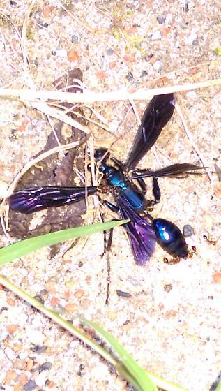 4- winged blue mud dauber - Chlorion aerarium