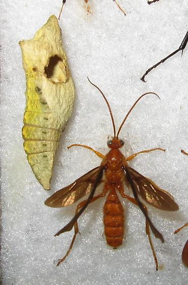 Parasitoid Wasp (of Pieridae?) - Trogus pennator