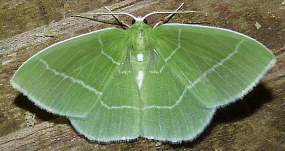 4/21/19 moth 2 - Nemoria mimosaria - male