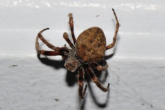 Spider 8 - Araneus andrewsi