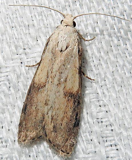 Bee Moth - Aphomia sociella