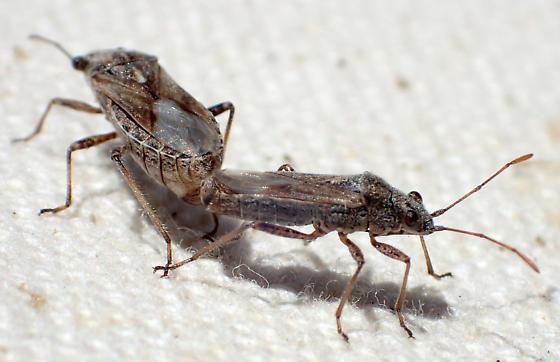 Rhopalidae? - Neortholomus - male - female