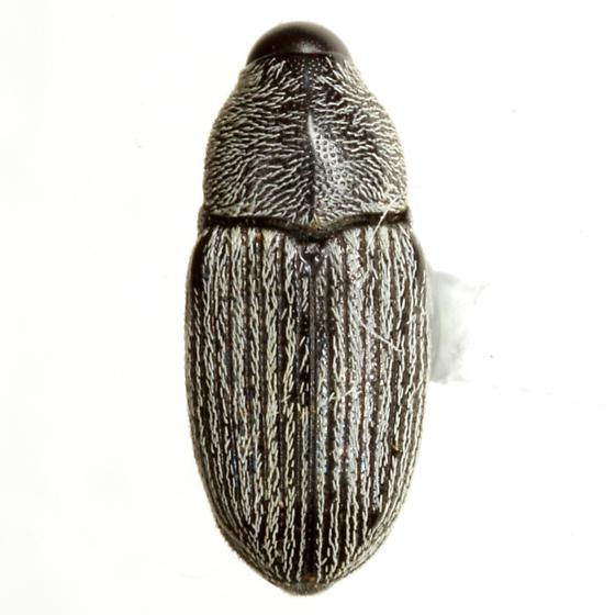 Trichodirabius longulus (LeConte) - Trichodirabius longulus
