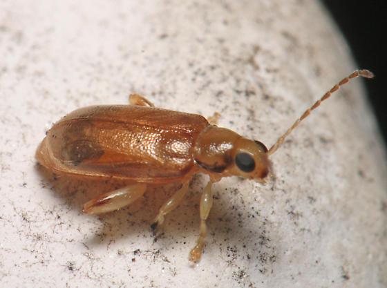 Beetle for ID - Systena