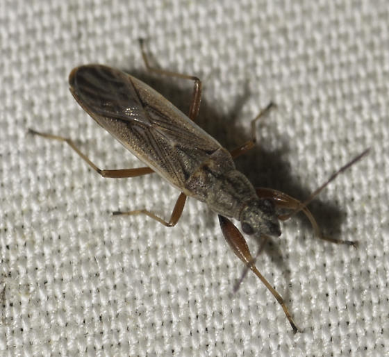 some true bugs from Dirk's place - Paromius longulus