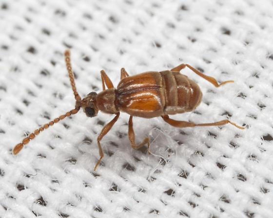 Ant-like Leaf Beetle - Atinus monilicornis