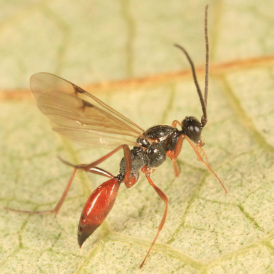 Proctotrupid - Proctotrupes caudatus - male