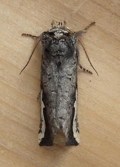 Notodontidae: Symmerista albifrons? - Symmerista