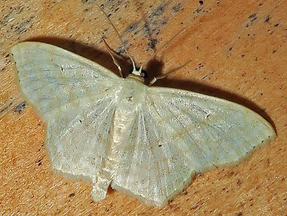 Large Lace-border - Scopula limboundata