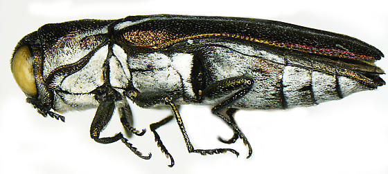 Agrilus felix Horn - Agrilus felix - male