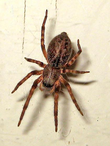 Nocturnal spider - Badumna longinqua