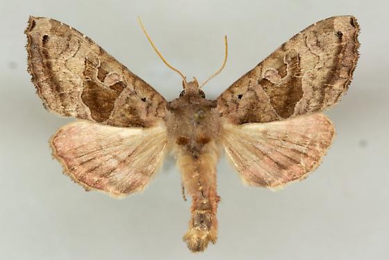 Unidentified moth - Phlogophora periculosa
