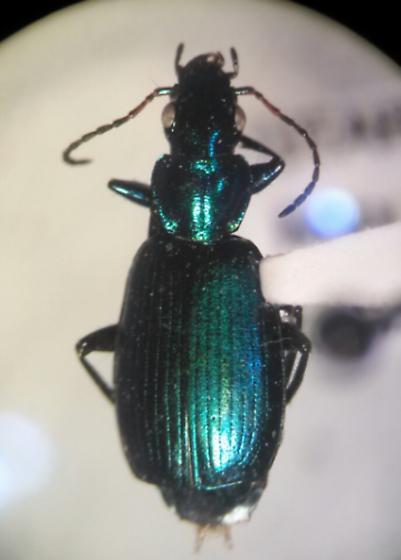 Philophuga viridis horni Chaudoir 1877 - Philophuga viridis - female