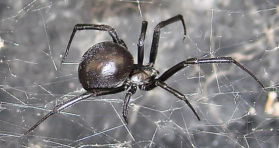 Black Widow 1 - Latrodectus mactans