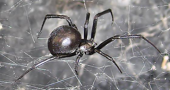 Black Widow 1 - Latrodectus mactans