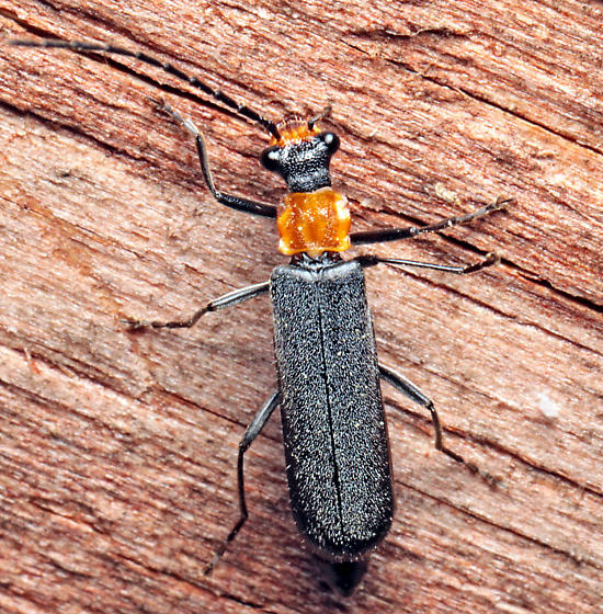 Rhagonycha? - Dichelotarsus punctatus
