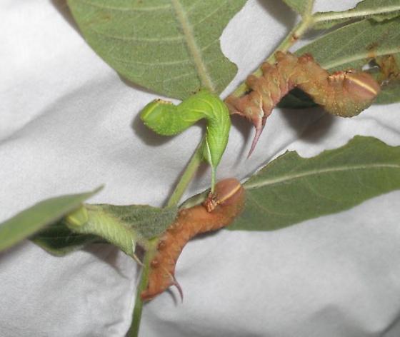 great ash sphinx instars - Sphinx chersis