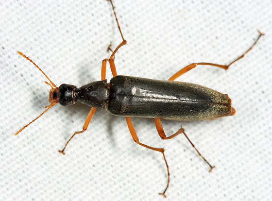 False Longhorn Beetle - Cephaloon ungulare