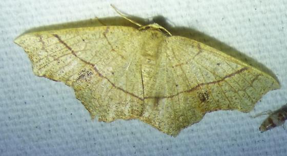 Besma quercivoraria - Oak Besma - Besma quercivoraria