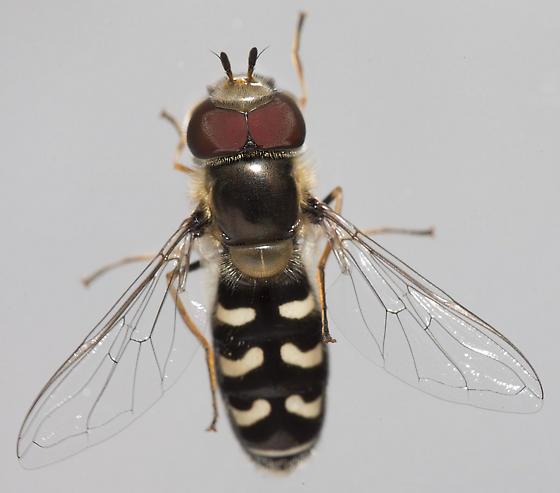 Syrphidae - Scaeva pyrastri - male