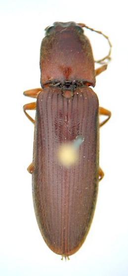 Athous 01 - Hemicrepidius bilobatus - male
