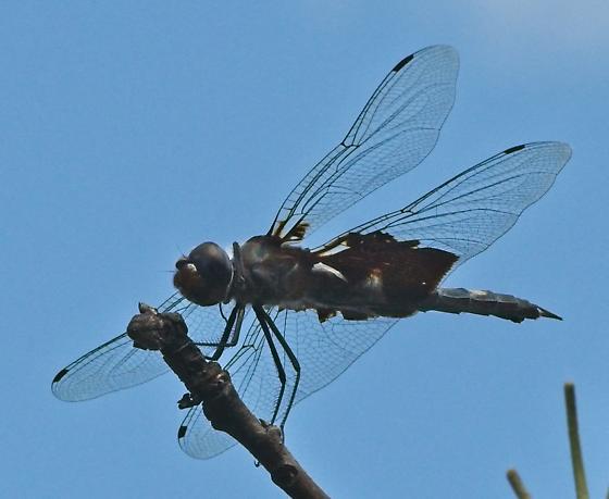 Black Saddlebags dragonfly - Tramea lacerata