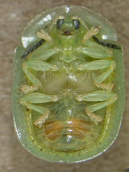 Gratiana boliviana - male
