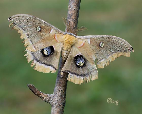 polyphemus - Antheraea polyphemus