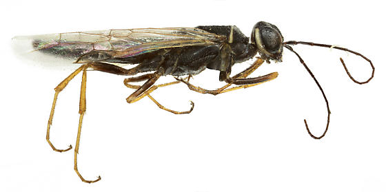 Syntexis libocedrii pinned male - Syntexis libocedrii - male