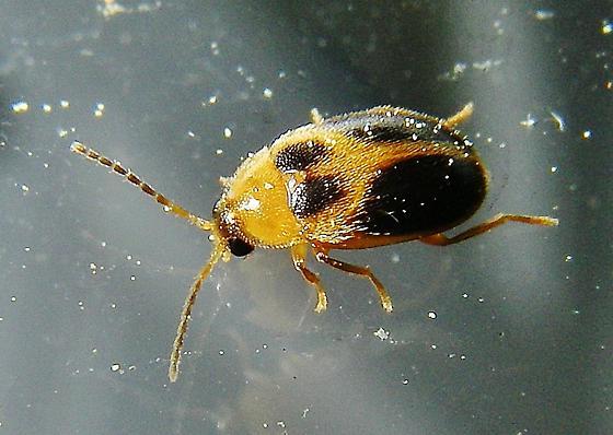 A wee beetle. - Sacodes pulchella